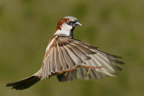 house sparrow flying www pixshark images
