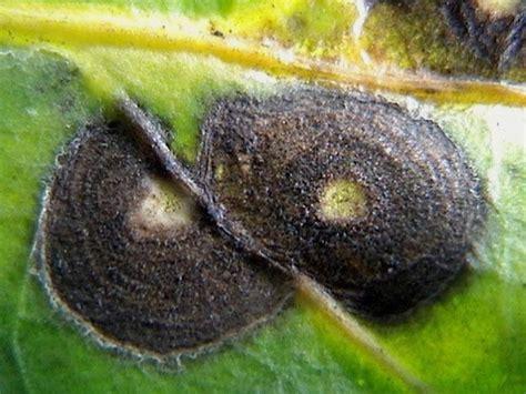 Benih Cabai Gada saung sumberjambe bercak daun pada cabai