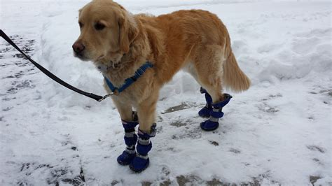 dogs in boots dogs in boots 28 images golden retriever boots boot funnydogsite classic sherpa