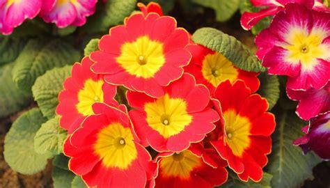 fiori da giardino foto fiori perenni quali sono i pi 249 belli da avere in giardino