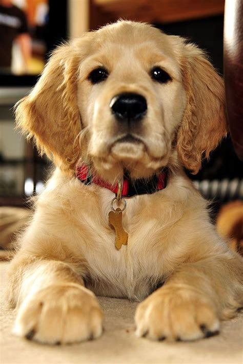 how does a golden retriever look like 1000 ideas about golden cocker retriever on