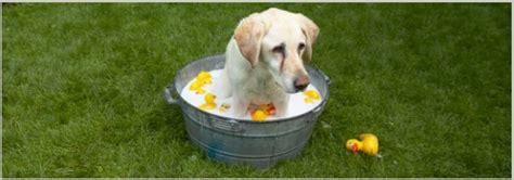 golden retriever puppy tips bathing tips for golden retriever dogs