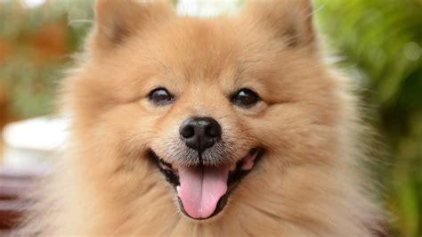 los perros magicos de 0892391294 pomerania spitz enano alem 225 n raza de perro youtube