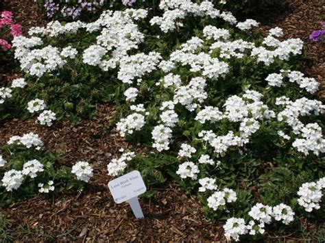 verbena shrub with white flowers learn2grow