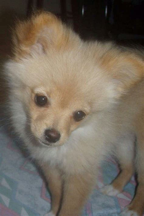 pomeranian and chihuahua mix grown 17 best images about pomachi on chihuahuas adoption and wombat