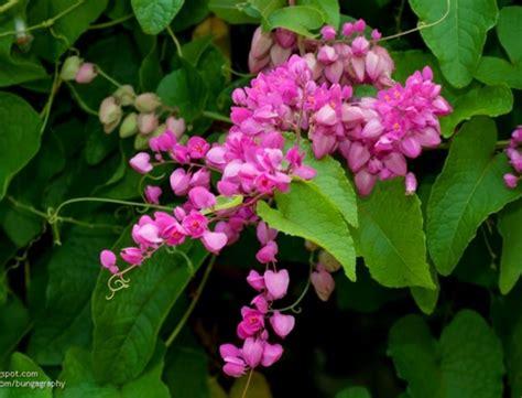 Jual Bibit Bunga Air Mata Pengantin asal air mata pengantin bunga air mata pengantin sebagai