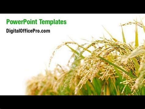 powerpoint themes rice rice plant powerpoint template backgrounds