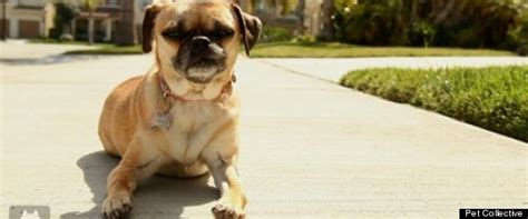 the pet collective pugs miracle pug with 2 broken legs walks again the pet collective