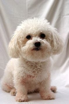 type of dog haircuts dog grooming on pinterest pet grooming green bay and