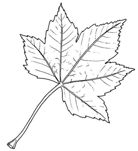 Drawing Leaves by Biological Drawing Of Sycamore Leaf Resources For