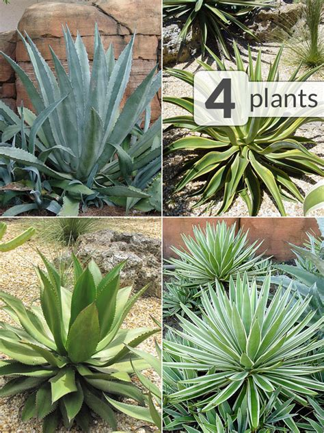 xl  agave plant collector mix kens nursery