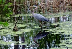 How To Find A Snail In Your Backyard Great Blue Heron Birdwatching