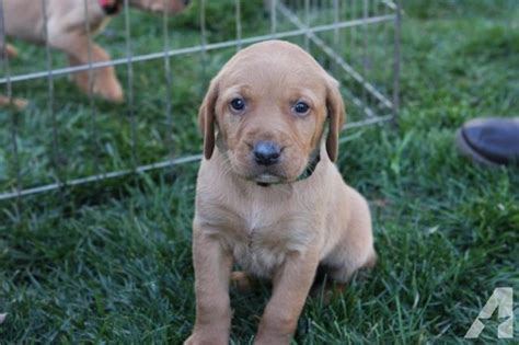 pointing lab puppies for sale gorgeous pointing akc yellow lab puppies for sale for sale in olivehurst california