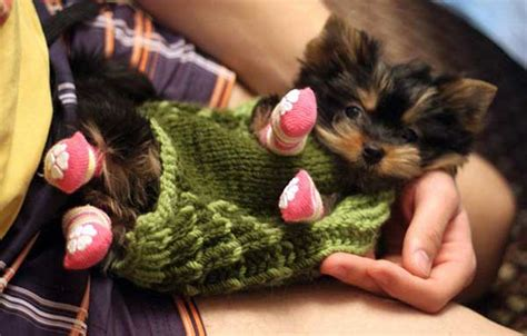 yorkie puppies pictures only 10 yorkie puppy photos yorkiemag