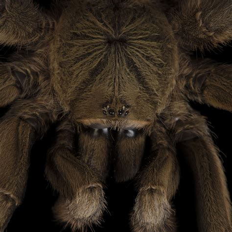hairy virginia in the world tarantulas national geographic