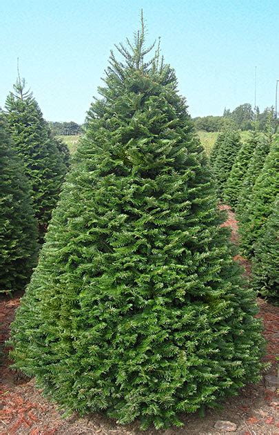 what type of christmas tree lasts the longest grand fir olympic trees