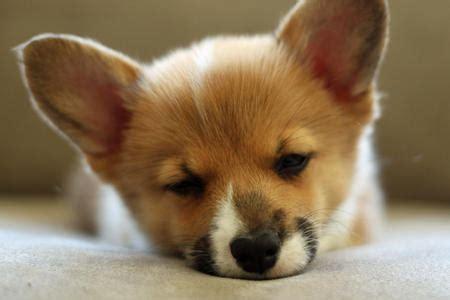 corgi puppies tucson chewie the pembroke corgi puppies daily puppy