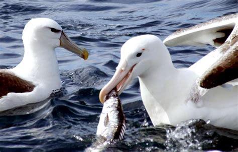 royal albatross ocean treasures memorial library