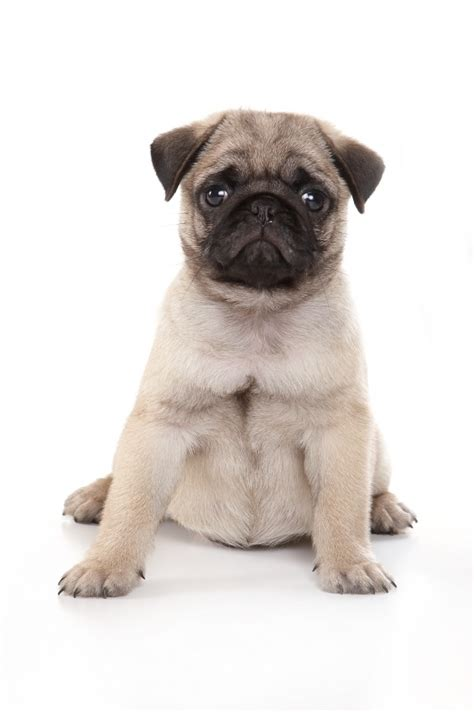 how much are puppy pugs 25 best pug ideas on haired bulldog bulldog