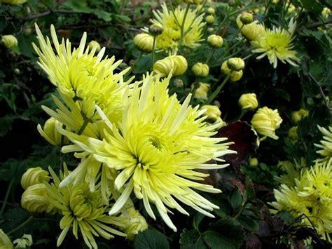 come coltivare fiori come coltivare il grisantemo fiori in giardino