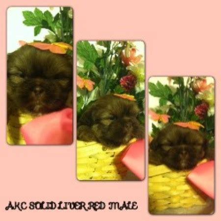 shih tzu breeders in maine puppi paparazzi shih tzu breeder in berwick pennsylvania