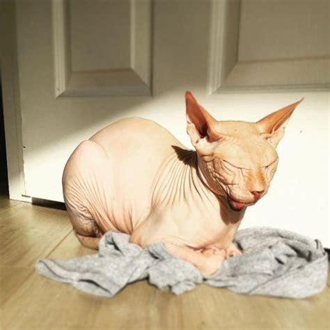 fakta menarik tentang kucing sphynx  tak berbulu