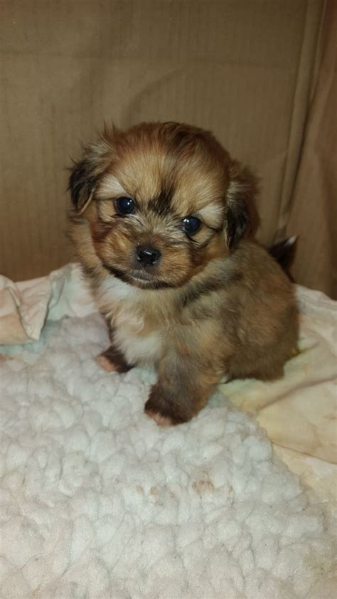 shih tzu and pomeranian puppies pin shih tzu x pomeranian puppy on