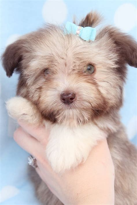havanese puppies south florida 17 best ideas about havanese puppies for sale on havanese puppies