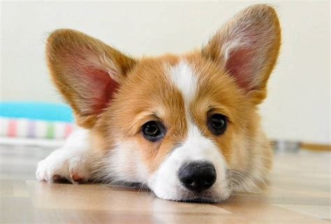 28 reasons we need to save corgis from extinction