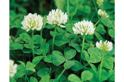 fiore trifoglio trifoglio nano domande e risposte coltivazione