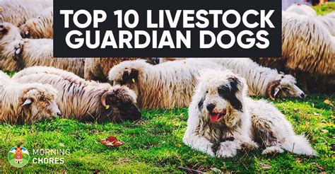 best farm dogs 10 best lgd farm breeds to herd protect your livestock