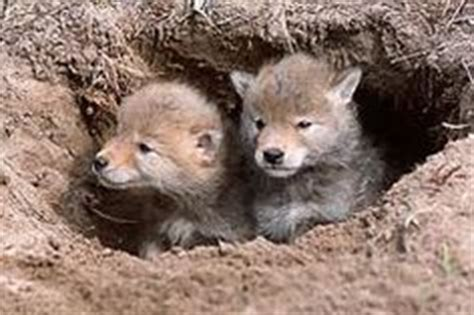 facts about coyotes for kids facts about mammals for kids on pinterest facts quizzes