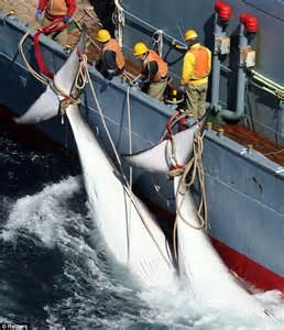 Whaling Is Still Big In Japan by Japan Banned From Killing Whales After International Court