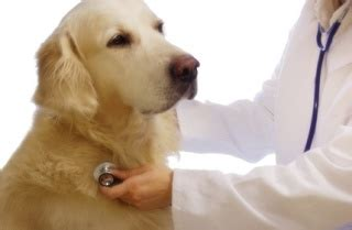 golden retriever coughing home remedy for kennel cough