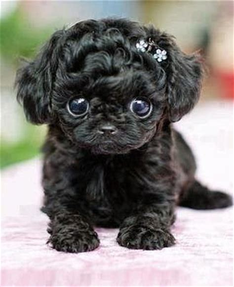 cutest teacup puppies best 25 teacup dogs ideas on