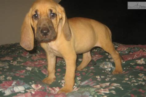bloodhound puppies for sale in nc fergie baloo bloodhound puppy for sale near carolina cf867736 34a1