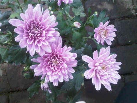 Tanaman Kemuning Micro tanaman krisan ungu bibitbunga