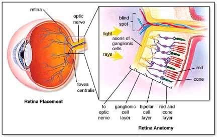 rods in the retina are the receptors for color 2 brandon kelcey