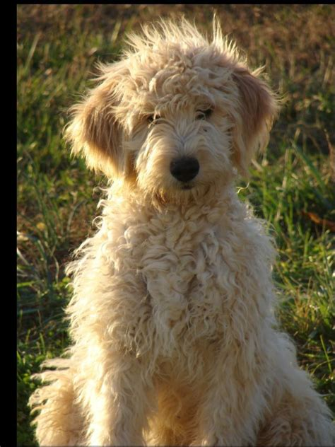 ginger doodle puppy ginger goldendoodle puppies pinterest goldendoodle