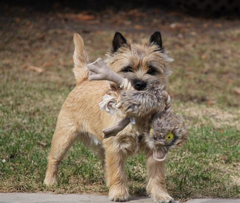 cairn puppies kilmaree cairn terriers