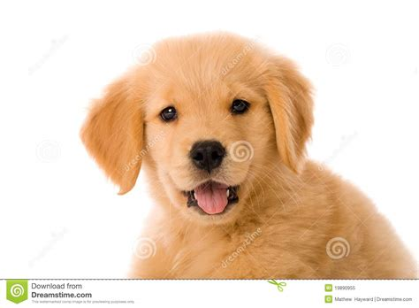 free golden retriever pups small breeds hd small breed breeds jpg breeds picture