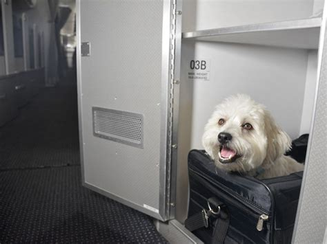 flying with a pug in cabin american airlines creates pet cabin petswelcome