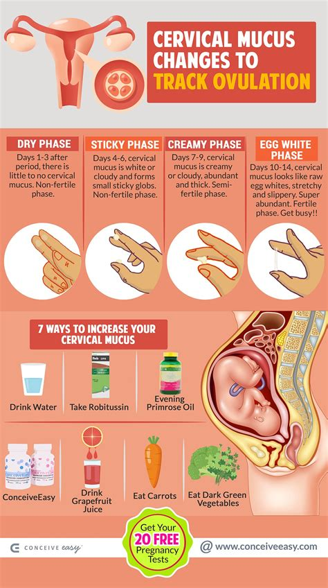 track ovulation  cervical mucus  infographic