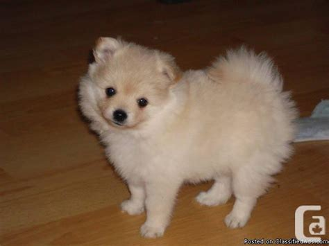 teacup pomeranian for sale vancouver pomeranian puppy for sale for sale in surrey columbia classifieds