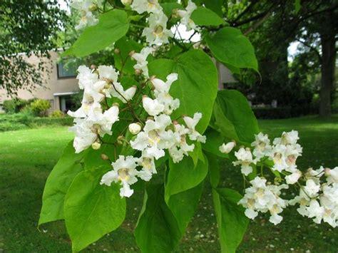 alberi profumati da giardino albero dei sigari catalpa bignonioides catalpa