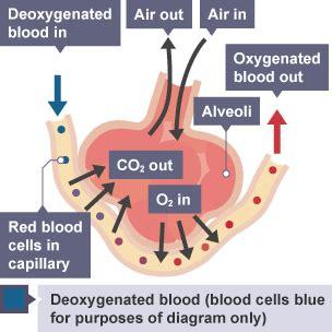 explain  alveoli  adapted  gas exchange