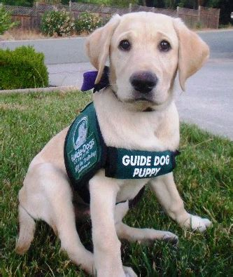 guide puppy raising how to raise a guide a guide to the special needs and responsibilities involved