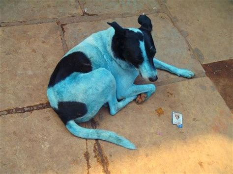blue dogs india effluents in kasadi river turning dogs blue in this mumbai suburb ibtimes india