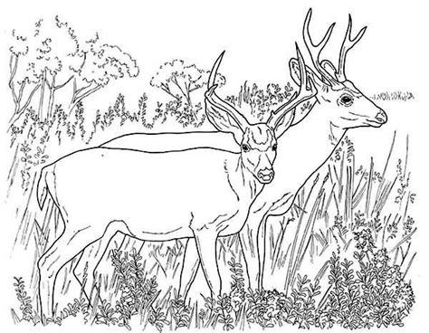 realistic deer coloring pages realistic deer coloring pages