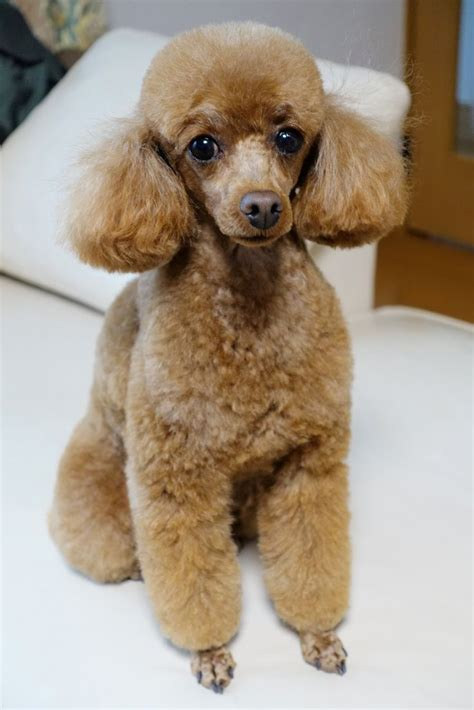 pictures of different types of poodle hair cuts types of toy poodle haircuts 559 best images about poodles